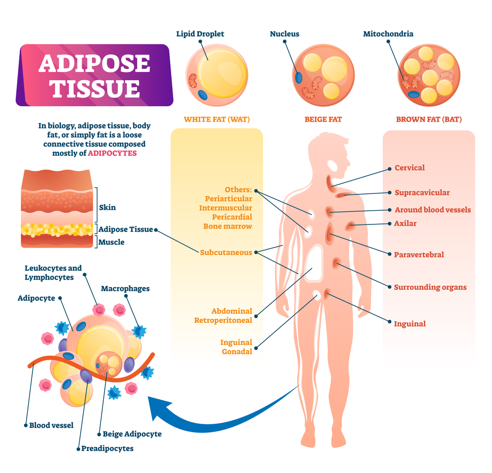 LIPOGHAGE fatty tissue types diagram